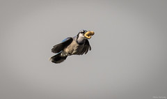 Greedy Blue Jay (Melissa M McCarthy) Tags: bluejay bird animal nature outdoor wildlife songbird jay wild flying bif inflight fast action motion stjohns newfoundland canada canon7dmarkii canon100400isii