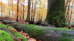 Les feuilles voltigent au vent du Nord (Un jour en France) Tags: feuille forêt bois automne paysage arbre ef1635mmf28liiusm canoneos6dmarkii