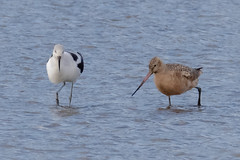 Avocet and Godwit (tresed47) Tags: 2018 201812dec 20181204bombayhookbirds avocet birds bombayhook canon7dmkii content delaware folder godwit marbledgodwit peterscamera petersphotos places season shorebirds takenby us winter