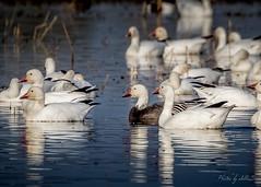 White Snow Geese and a Less Common Blue Morph (Selkii's Photos) Tags: birds bluemorphsnowgoose california chencaerulescens familyanatidae geese merced mercednwr nationalwildliferefuge orderanseriformes snowgooselesser bluegoose darkphase