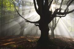 The Queen of the Forest (Hector Prada) Tags: autumn otoño forest bosque sunlight sol mist bruma fog niebla light silhouette tree árbol dreamy magic nature naturaleza leaves hojas paísvasco basquecountry