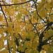 The cherry tree in autumn