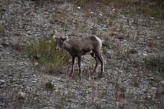 BNP_010 (Kerri M.) Tags: banffnationalpark nationalparks canadaparks bighornsheep lamb wildlife canadianrockies