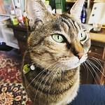 いすのりおきものねこ #ねこ #猫 #cat #gatto #chat #kitten thumbnail