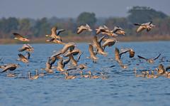 Here We Go... (Anirban Sinha 80) Tags: nikon d610 500mm f4 ed vrii n g bird goose bokeh wetland water nature wings reservoir inflight 17x tc 850mm