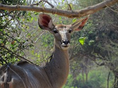 inquisitive female Kudu  /  Koedoe  ( ooi ) (Pixi2011) Tags: antelope wildlife krugernationalpark southafrica africa animals nature
