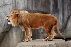 Lion 5 (Emily K P) Tags: milwaukeecountyzoo zoo animal wildlife bigcat cat feline male lion tan yellow grey gray rock roar vocalize