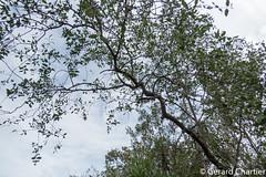Sonneratia caseolaris (Apple Mangrove) (GeeC) Tags: cambodia kohkongprovince magnoliopsida marshwalkandstreamkayak myrtales nature naturetours plantae rosanae sonneratia sonneratiacaseolaris sonneratiaceae tatai tracheophyta vascularplants