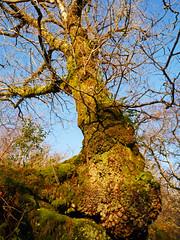 Oak (Quercus sp.), Glasdrum National Nature Reserve (Niall Corbet) Tags: scotland argyll nnr nationalnaturereserve glasdrum oak quercus