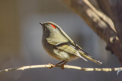 9/365 Ruby-crowned Kinglet (Maggggie) Tags: red bird rubycrownedkinglet branch outside green tiny 365the2019edition 3652019 day9365 09jan19