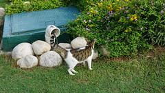 2015-09-20_16-38-18_ILCE-6000_DSC00242 (Miguel Discart (Photos Vrac)) Tags: 2015 61mm animal animalphotography animals animalsupclose animaux cat cats chat chats colakli e1670mmf4zaoss focallength61mm focallengthin35mmformat61mm holiday hotel ilce6000 iso100 kamelya kamelyaworld nature naturephotography pet sony sonyilce6000 sonyilce6000e1670mmf4zaoss summer turkey turquie vacance vacation