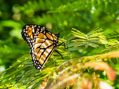 Monarch (NOL LUV DI 2) Tags: monarch butterfly nz leaves light