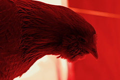 kentucky in red. (23/365) (ryanbengtson) Tags: 365the2019edition 3652019 day23365 23jan19 chicken heatlamp red