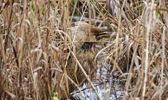 Getting a little upset - Bittern (foto tuerco) Tags: bittern oregon marsh wetlands