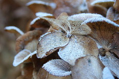 Damaged fuzzy plant (ryorii) Tags: hydrangea flowers flower fiore fiori damaged damage fuzzy icy danneggiato danneggiati ghiacciati frosted picktwo macromondays macro macrophotography macrophoto hmm