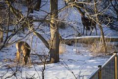 IMG_2053_1 (Aaron Hoff) Tags: animals deer
