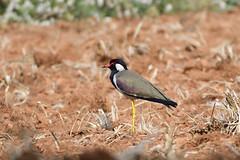 Red-wattled lapwing (santm) Tags: birds nikon200500mm d500 karnataka bird animal