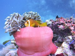 Heteractis magnifica & Amphiprion akallopisos (kmlk2000) Tags: maldives vacation sea ocean sealife sun blue underwater fish poisson beach reef