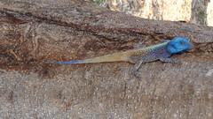 Colourful Lizard (Rckr88) Tags: krugernationalpark southafrica kruger national park south africa colourful lizard colourfullizard colourfullizardscolourful lizardsreptilereptilesnaturenatural world outdoors wilderness wildlife travel travelling animals animal