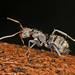 Carpenter Ant - Camponotus novogranadensis, Arthur Marshall Loxahatchee National Wildlife Refuge, Boynton Beach, Florida