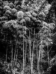 BambooForestA.jpg (Klaus Ressmann) Tags: omd em1 biwu china klausressmann landscape moganshanmountain nature winter bamboo blackandwhite design flcnat trees omdem1