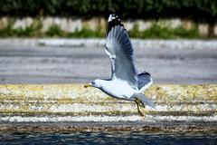 Gabian en approche (thierrybalint) Tags: bird water grass gabian seagull gull parc park borély marseille nikon nikoniste balint thierrybalint