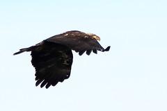 Bald Eagle (Michael Pike) Tags: bald eagle bird the dalles dam oregon canon 77d sigma 50500