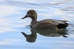 Canard chipeau (m) - Gadwall (m) (dom67150) Tags: animal wildlife oiseau bird nature canardchipeau gadwall marecastrepera male
