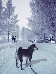 Winter Walk (pjen) Tags: shibainu shibaken nihonken hiro dog shiba koira primitive breed spitz japanese finland 日本犬 柴犬 urajiro 10years winter snow ice animal pet frozen freezing frost