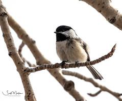 IMG_0480 (Scott Martin - Photographer) Tags: inglewoodbirdsanctuary inglewood calgary alberta canada bird chickadee
