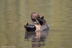 Codone _002 (Rolando CRINITI) Tags: codone uccelli uccello birds ornitologia avifauna racconigi natura