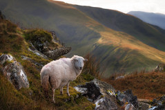 Hello ewe..x (Einir Wyn Leigh) Tags: landscape sheep winter love outside path mountains snowdonia animal nature habitat natural wales