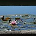 Nymphaea (in shadows cinemascope)