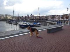 2018-0093 (schuttermajoor) Tags: airedaleterrier hond nederland che 2018 pionierspad