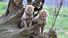 Junge Gepardenmädchen 6 Wochen alt (hansjrgenknppel) Tags: gepard junge geparden raubtier familie katzen nikon d 850 nikkor 200500mm allwetter zoo münster hansjuergen knueppel