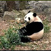 Bei Bei (Hey, isn't there some rule about not taking pictures when one's mouth is full? Oh, the rule is don't talk when your mouth is full. It's okay then–we pandas don't talk.) 2018-12-09 at 10.23.26 AM