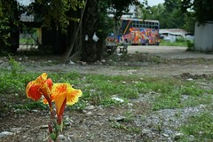 lily and tour bus (the foreign photographer - ฝรั่งถ่) Tags: lily tour bus vacant lot chaengwattana road bangkhen bangkok thailand canon