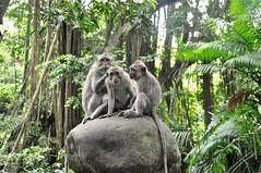 Sacred Monkey Forest (The Spirit of the World ( On and Off)) Tags: monkeys sacredmonkeyforest conservation sanctuary religious hindu religion trees ferns boulders primates ubud bali indonesia asia island green nature wildlife balineselongtailedmonkeys macaques