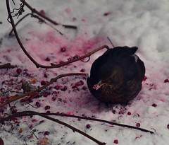 Mustarastas Puolukka (TheSaOk) Tags: rastas yleluonto luontokuva eläinkuva bird puolukka winter talvi lumi snow animal wildlife nikon d7500 tamron 300mm turdusmerula lonelyplanet eurasianblackbird lauttasaari helsinki suomi finland mustarastas