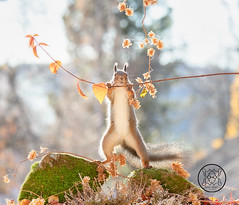 red squirrel is holding a branch with dried leaves (Geert Weggen) Tags: animal autumn bright bud cheerful closeup cute flower foodanddrink horizontal humor land lightnaturalphenomenon mammal moss mushroom nature perennial photography plant red rodent springtime squirrel summer sweden fun fight fall couple young heath branch leaves reach camouflage rock top above high up lupine bispgården jämtland geert weggen seweden ragunda