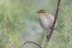Common chiffchaff (Dave 5533) Tags: commonchiffchaff bird songbird wild nature animal outdoor canon300mmf28 canon1dx birdsinisrael wildlifeinisrael naturephotography animalplanet