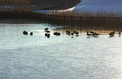A Winter Morning (pen3ya) Tags: pen3ya nikon digital iwate japan pond park birds ducks ice water fence winter morning