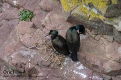 Cormorans huppés (Oric1) Tags: breizh france eos capfrehel oric1 côtesdarmor bird oiseau plévenon jeanlucmolle 22 brittany bretagne armorique canon cormoran huppé ornithologie ornithology watching
