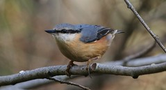 Nuthatch 101218 (4) (Richard Collier - Wildlife and Travel Photography) Tags: birds bird wildlife nature naturalhistory nuthatch naturethroughthelens
