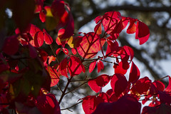 Sky through the Burning Bush (brucetopher) Tags: red leaf leaves fall tree burning bush bushes branches light sunlight shine radiant radiance backlight backlit backlighting through transparent translucent autumn season changeofseason foliage turn turning