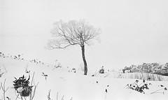 冬 (lgf55555(基福)) Tags: 雪景 黑白 底片 135黑白電影底片 leica 50mm apo 獨立樹