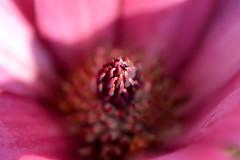 Magnolia (Seventh Heaven Photography **) Tags: garden flowers flora blooms pink nikon d3200 magnolia