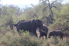 Elephant Herd (Rckr88) Tags: elephant herd elephantherd herds elephantherds elephants animals animal krugernationalpark southafrica kruger national park south africa nature outdoors wilderness wildlife