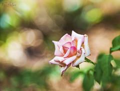 Blush..!! (dr_malar) Tags: rose roses rosephoto pinkrose nature flower flowers nikon nikond750