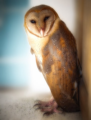 Come to my window .. (tchakladerphotography) Tags: bird owl barn portrait nature naturallight eyecontact colors